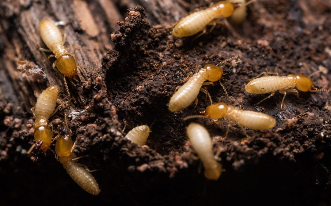 prevent termites at home